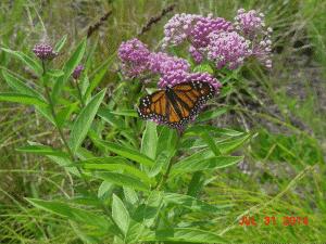 Orange  Butterfly on Pink Swamp  flower